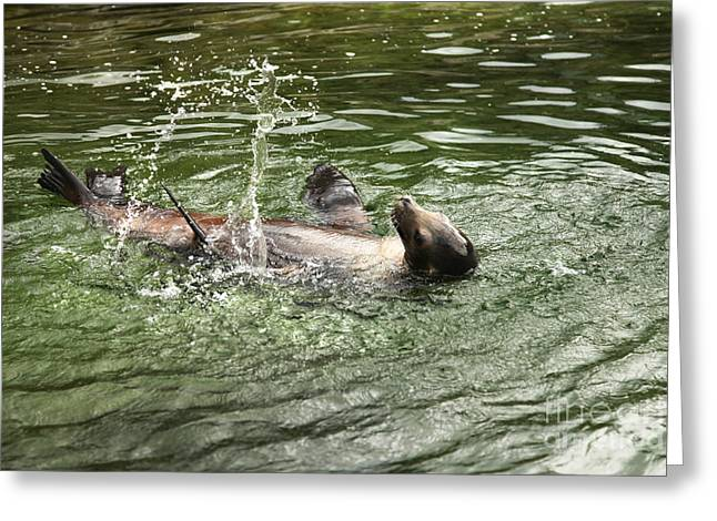 Sea Lions Greeting Cards - Sea Lion Splashing Greeting Card by Eden Baed