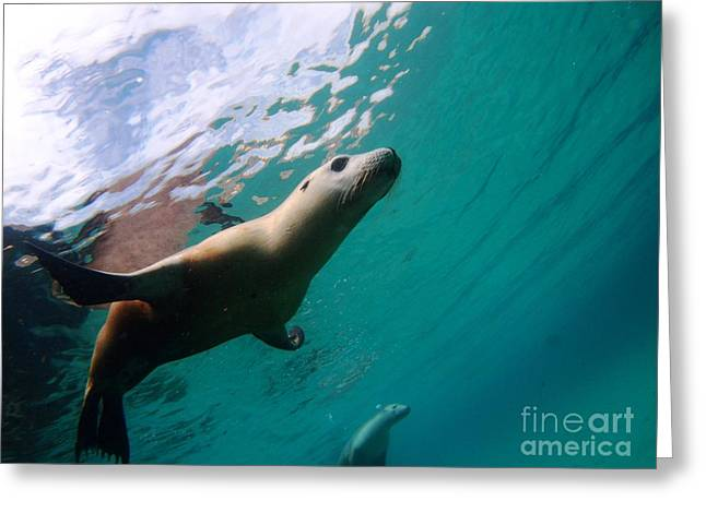 Hopkins Island Greeting Cards - Sea lion under lights Greeting Card by Crystal Beckmann