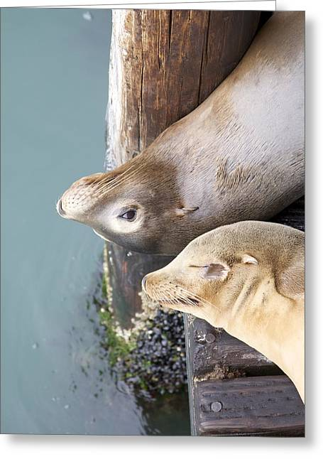Sea Lions Greeting Card by Ashley Balkan