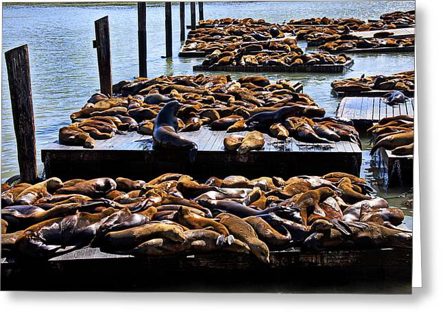 Sea Life Photographs Greeting Cards - Sea lions at Pier 39  Greeting Card by Garry Gay