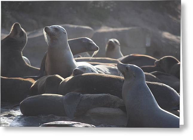 Sea Lions Greeting Cards - Sea Lions at Sunset Greeting Card by Steve Scheunemann