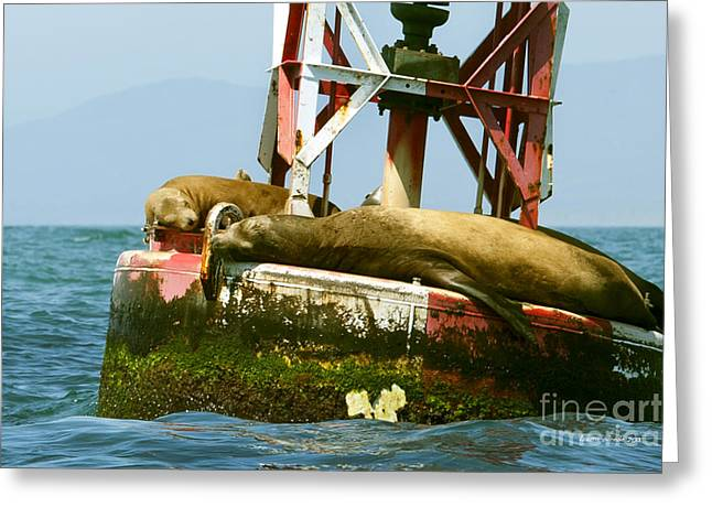 Sealions In The Ocean Greeting Cards - Sea Lions Floating on a Buoy in the Pacific Ocean in Dana Point Harbor Greeting Card by Artist and Photographer Laura Wrede