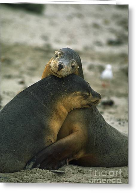 Sea Lions Greeting Cards - Sea Lions Greeting Card by Gregory G. Dimijian