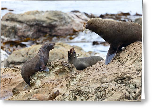 Sea Lions Greeting Cards - Sea Lions life Greeting Card by Alexey Stiop