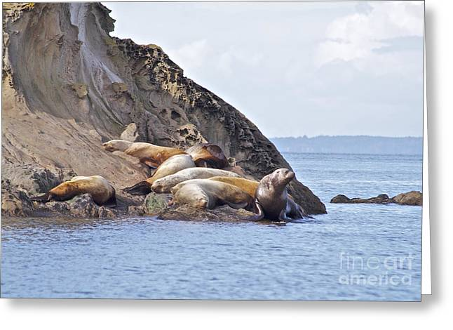 Ewing Pastels Greeting Cards - Sea Lions Napping Greeting Card by Tracey Levine