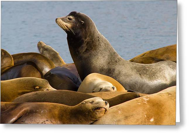 Sea Lions Greeting Cards - Sea Lions of Morro Bay Greeting Card by Richard Balison