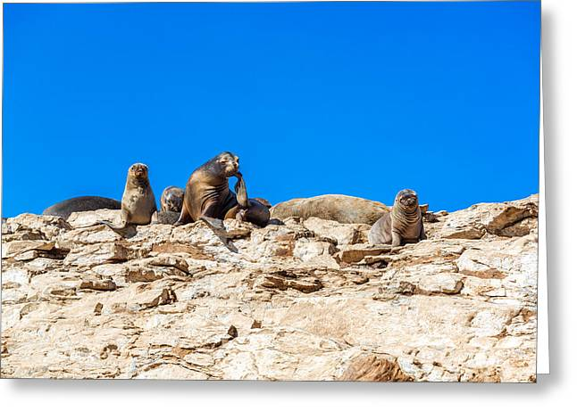 Sea Lions Greeting Cards - Sea Lions on a Rock Greeting Card by Jess Kraft