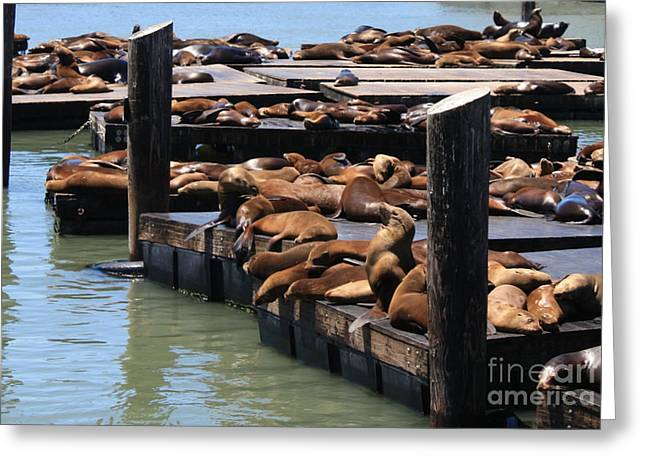 Sea Animals Greeting Cards - Sea Lions on Pier 39 Greeting Card by Danielle Groenen