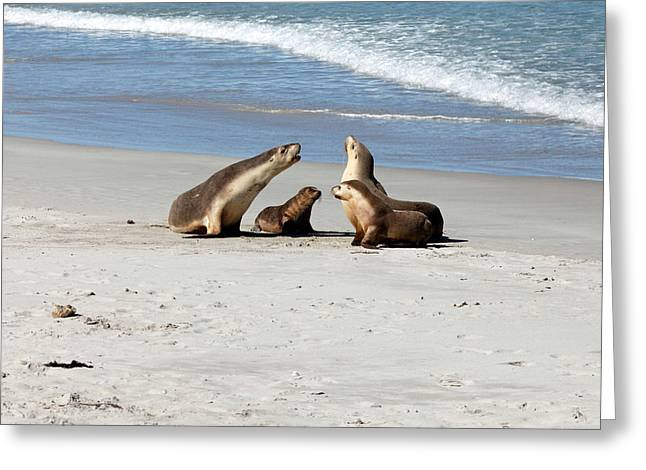 Sea Lions Greeting Cards - Sea Lions on the beach Greeting Card by James Hammick