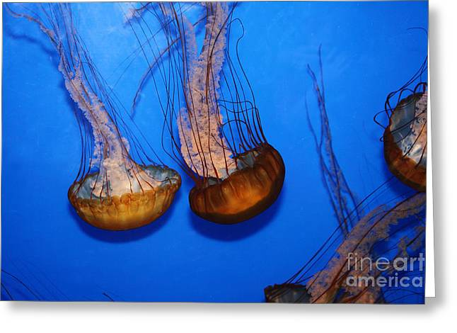 Snorkel Greeting Cards - Sea Nettle Jelly Fish 5D25076 Greeting Card by Wingsdomain Art and Photography