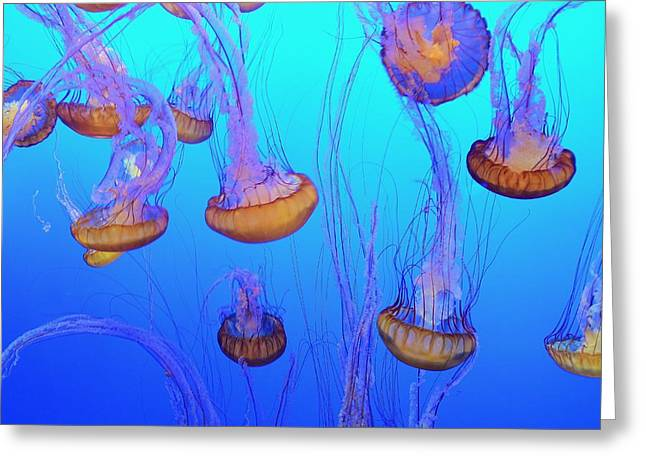 Recently Sold -  - Jelly Fish Greeting Cards - Sea-nettle Jelly Fish  Greeting Card by Marilyn MacCrakin