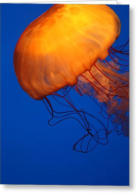 Underwater Photos Greeting Cards - Sea Nettles Greeting Card by Donna Corless