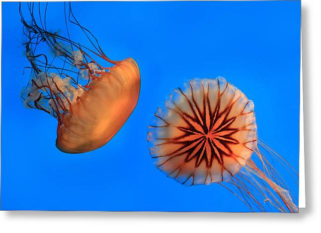 Sea Life Digital Greeting Cards - Sea Nettles Greeting Card by Lori Deiter