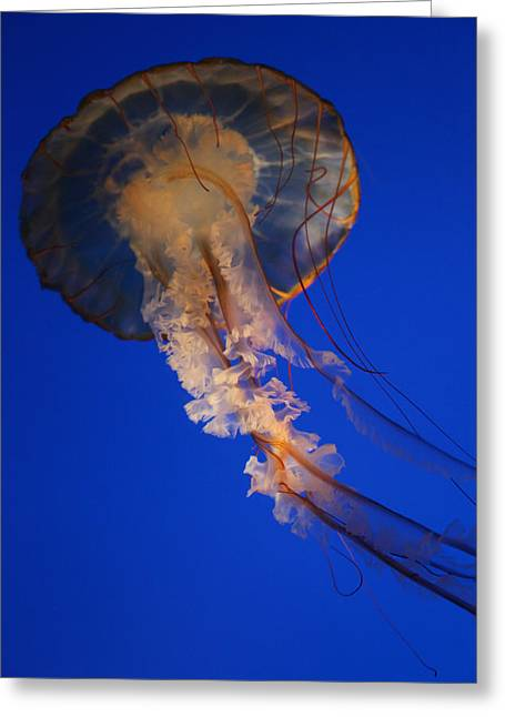 Underwater Photos Greeting Cards - Sea Nettles v 11 Greeting Card by Donna Corless