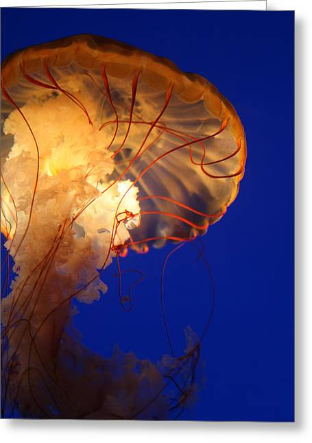 Underwater Photos Greeting Cards - Sea Nettles v 2 Greeting Card by Donna Corless