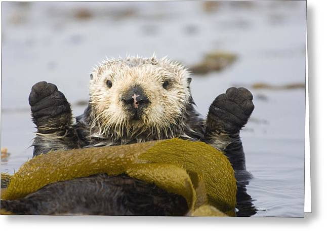 Protected Sea Life Greeting Cards - Sea Otters Rest Wrapped In Kelp Beds Greeting Card by Bruce Lichtenberger