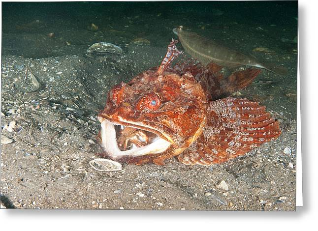 Sea Raven Swallows Crab Greeting Card by Andrew J. Martinez