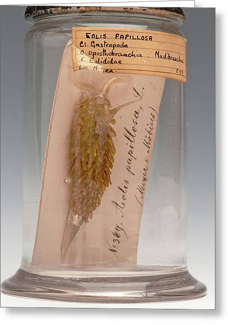 Sea Slug Greeting Card by Ucl, Grant Museum Of Zoology