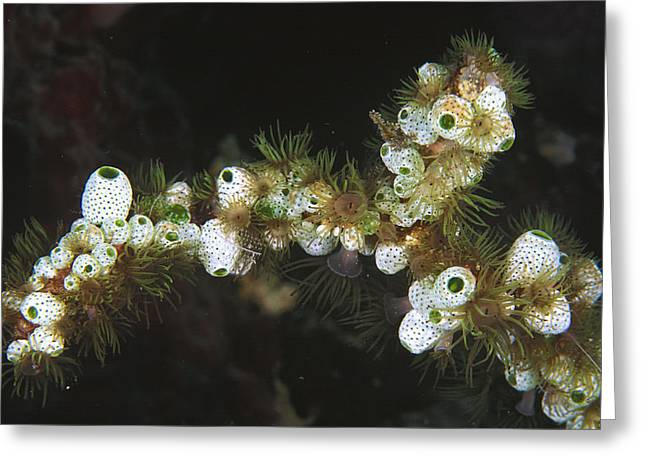 Photos Of Coral Greeting Cards - Sea Squirts And Gorgonian Wrapper Sea Greeting Card by Mark Spencer