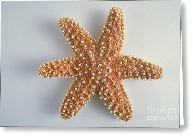 Radial Symmetry Greeting Cards - Sea Star Greeting Card by Barbara Strnadova