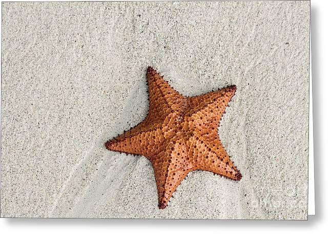 Asteroidea Greeting Cards - Sea Star  Greeting Card by John Greim