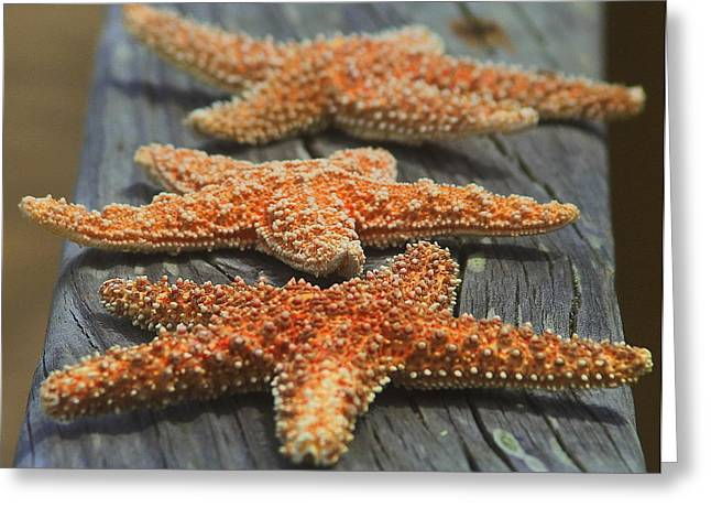 Shells Greeting Cards - Sea Star Trio 2  Greeting Card by Cathy Lindsey