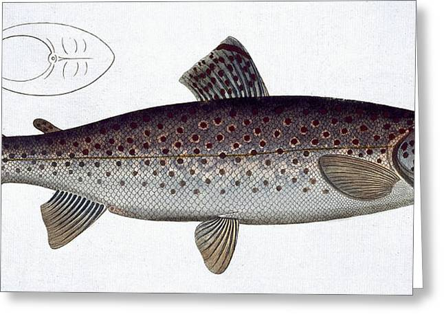 Angling Drawings Greeting Cards - Sea Trout Greeting Card by Andreas Ludwig Kruger