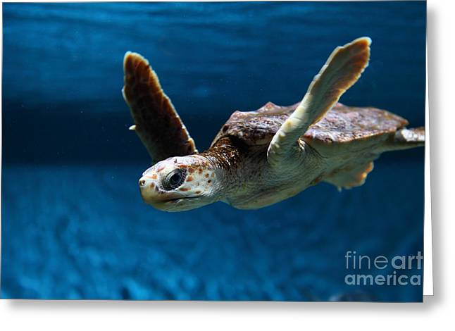 Aquarium Fish Greeting Cards - Sea Turtle 5D25078 Greeting Card by Wingsdomain Art and Photography