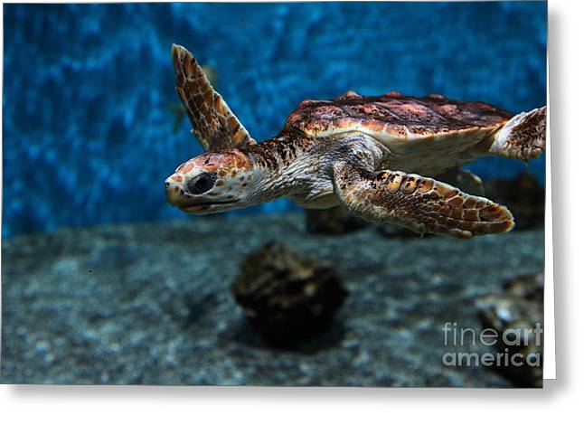 Snorkel Greeting Cards - Sea Turtle 5D25083 Greeting Card by Wingsdomain Art and Photography