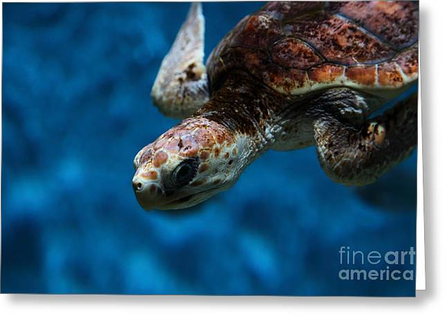 Aquarium Fish Greeting Cards - Sea Turtle 5D25091 Greeting Card by Wingsdomain Art and Photography