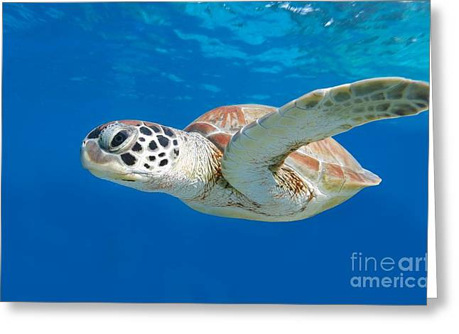 Sea Turtle Greeting Card by Isabelle Kuehn