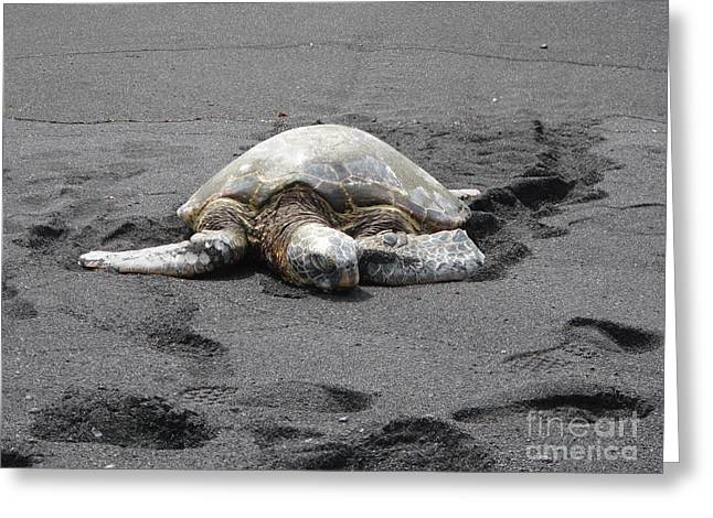 Aquatic Greeting Cards - Sea Turtle On Black Sand Beach Greeting Card by Sharon Patterson