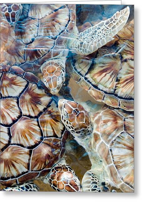 Mujeres Greeting Cards - Sea Turtles, Isla Mujeres, Mexico Greeting Card by Virginia Macdonald