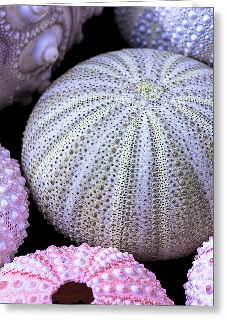 Sea Urchins Greeting Cards - Sea Urchin Collection Greeting Card by Garry Gay