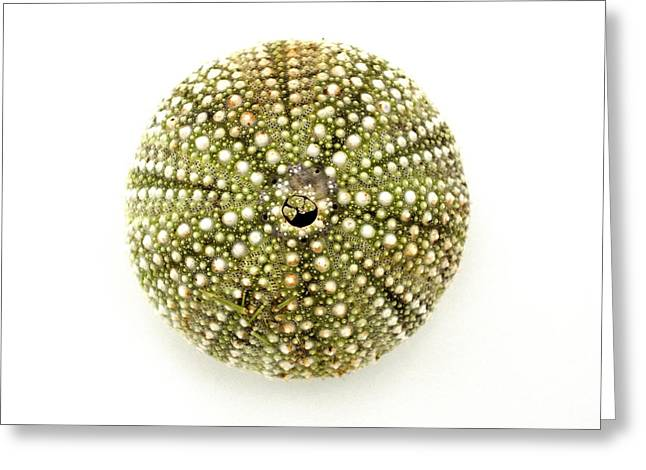 Avocado Green Greeting Cards - Sea Urchin No.1 Greeting Card by Jennifer Booher