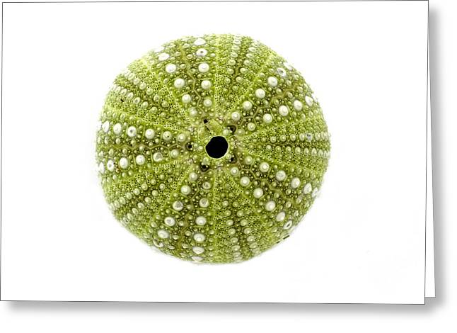 Maine Beach Greeting Cards - Sea Urchin No.2 Greeting Card by Jennifer Booher