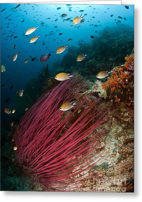 Damselfish Greeting Cards - Sea Whips And Schools Of Damselfish Greeting Card by Matthew Oldfield