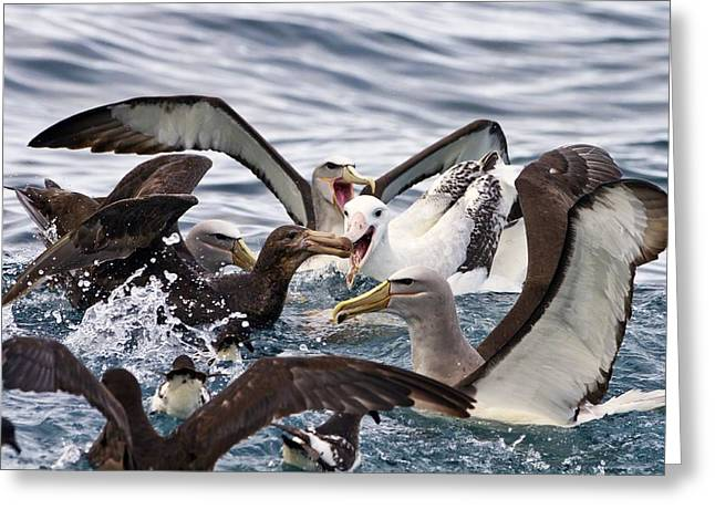 Sea Birds Greeting Cards - Seabirds feeding Greeting Card by Science Photo Library