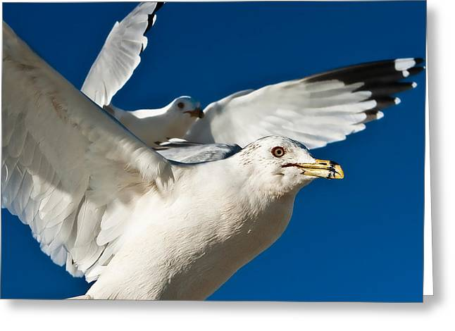 Sea Birds Greeting Cards - Seagull Greeting Card by Christine Harrison