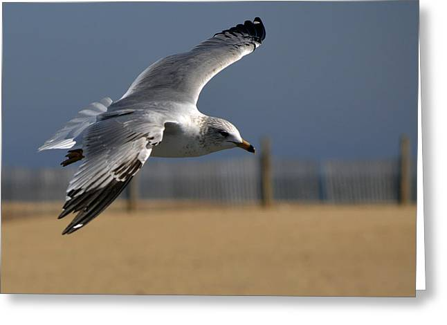 Flying Seagull Greeting Cards - Seagull Cleared for Beach Landing Greeting Card by Bill Swartwout