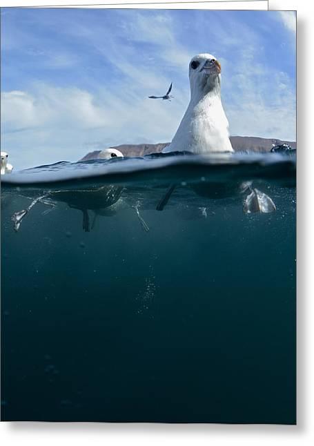 Tauchen Greeting Cards - Seagull Greeting Card by Erlendur Gudmundsson