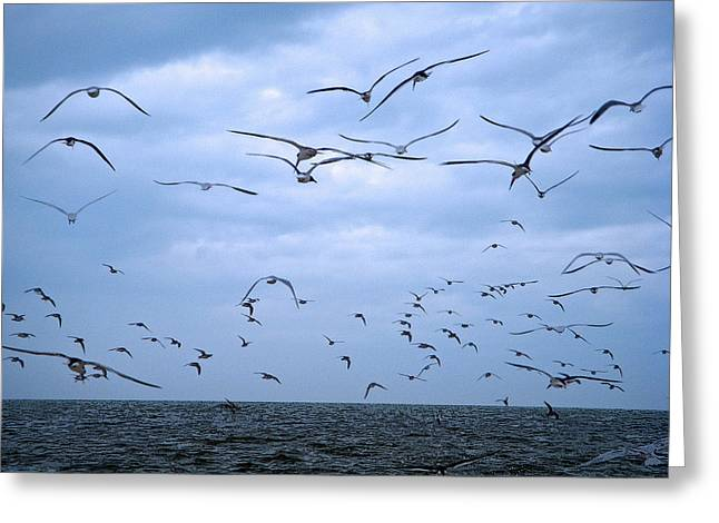 Greens Greeting Cards - Seagull Flight Greeting Card by Aimee L Maher Photography and Art