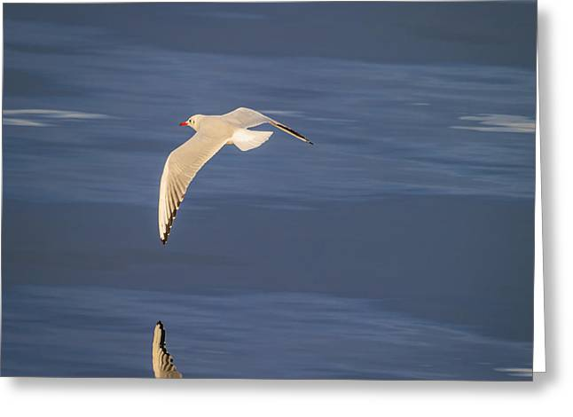 Ocean Images Greeting Cards - Seagull Flying Low Over Reykjavik Greeting Card by Panoramic Images