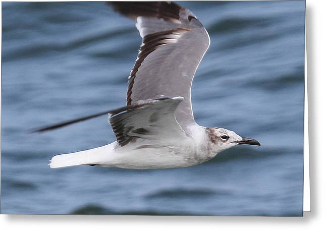 Photographers Conyers Greeting Cards - Seagull in Flight 13 Greeting Card by Cathy Lindsey