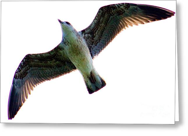 Flying Seagull Greeting Cards - Seagull In Flight Greeting Card by Tim Holt