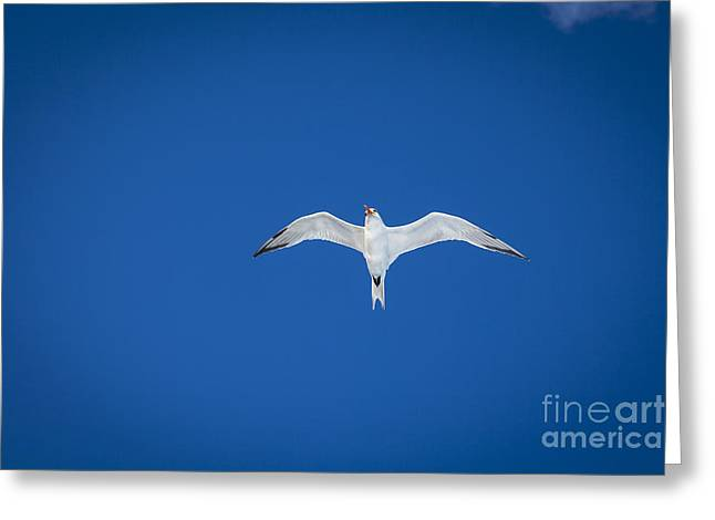 Flying Animal Greeting Cards - Seagull Greeting Card by Juan  Silva