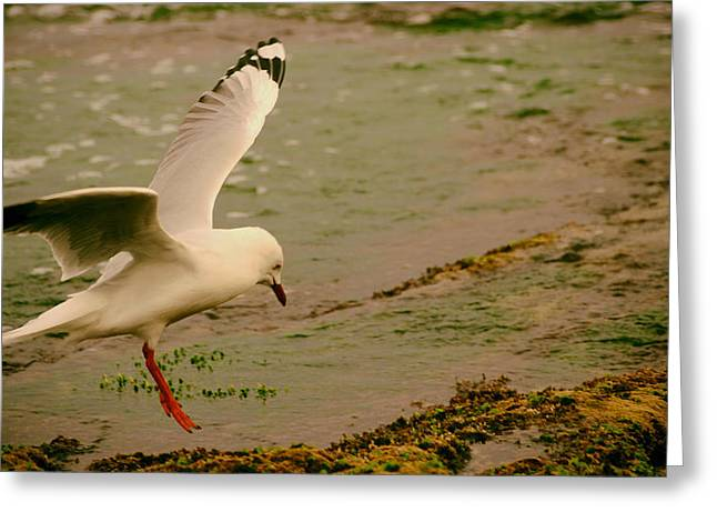 Flying Seagull Greeting Cards - Seagull Landing Greeting Card by Mountain Dreams