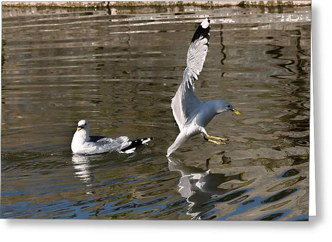 Flying Animal Greeting Cards - Seagull Greeting Card by Leif Sohlman