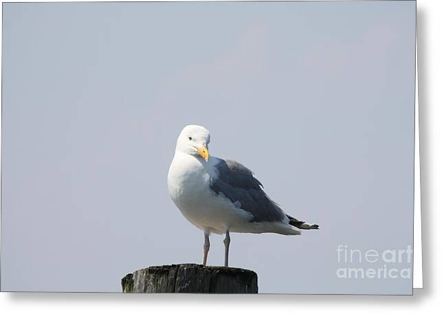 Print On Canvas Greeting Cards - Seagull Looking For Some Food Greeting Card by John Telfer