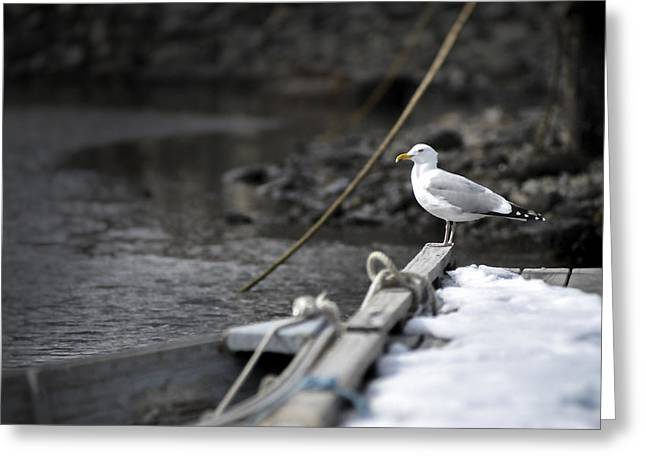 Duo Tone Greeting Cards - Seagull on a Maine Vacation Greeting Card by Thomas Schoeller